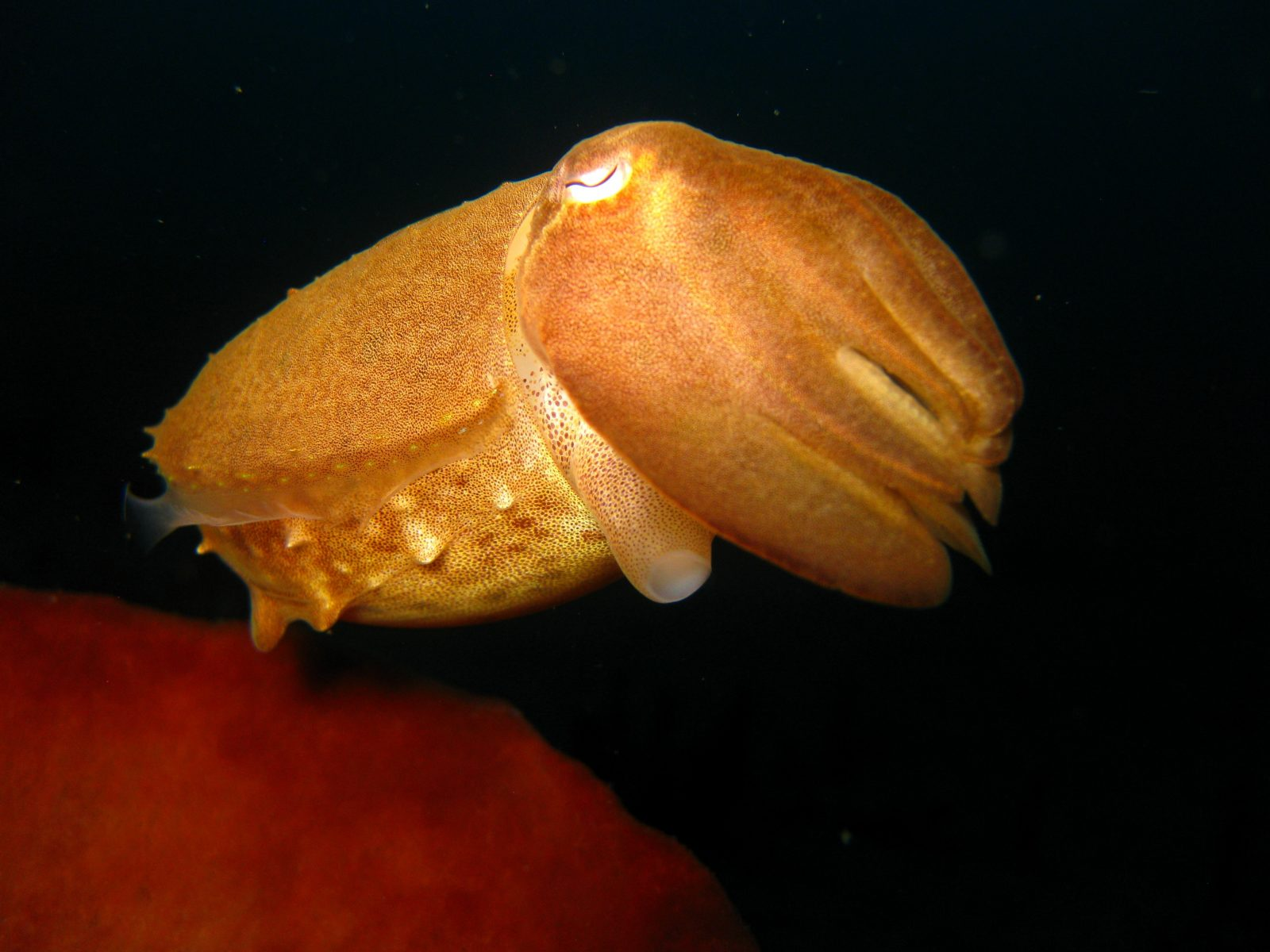 numerous-species-of-cuttlefish-are-found-across-the-maluku-archipelago-min