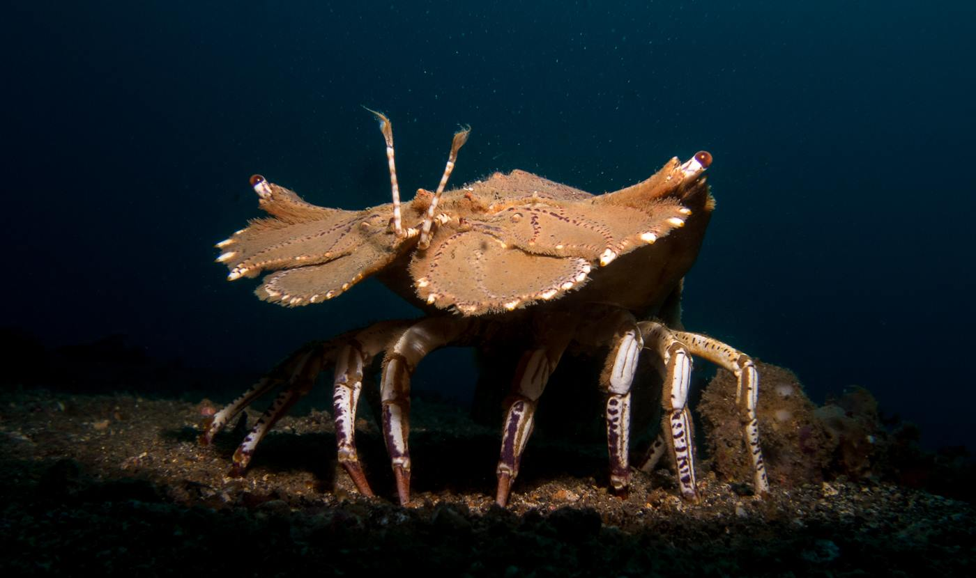 Slipper lobster Lembeh
