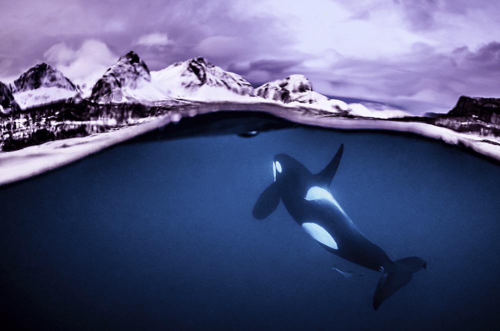 Orca split image
