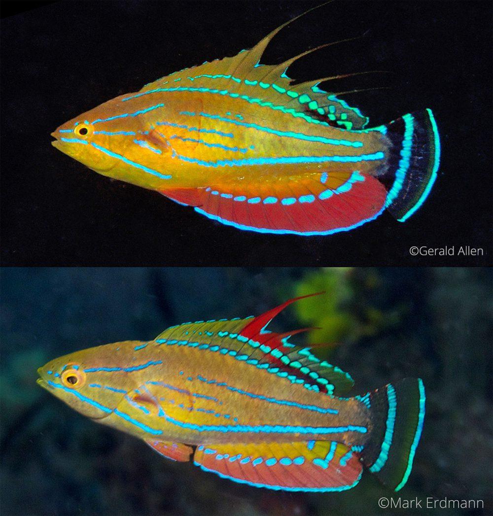 P.-carpenteri, Gerald Allen, critters@lembeh, North Sulawesi Indonesia, Lembeh Resort,underwater photography
