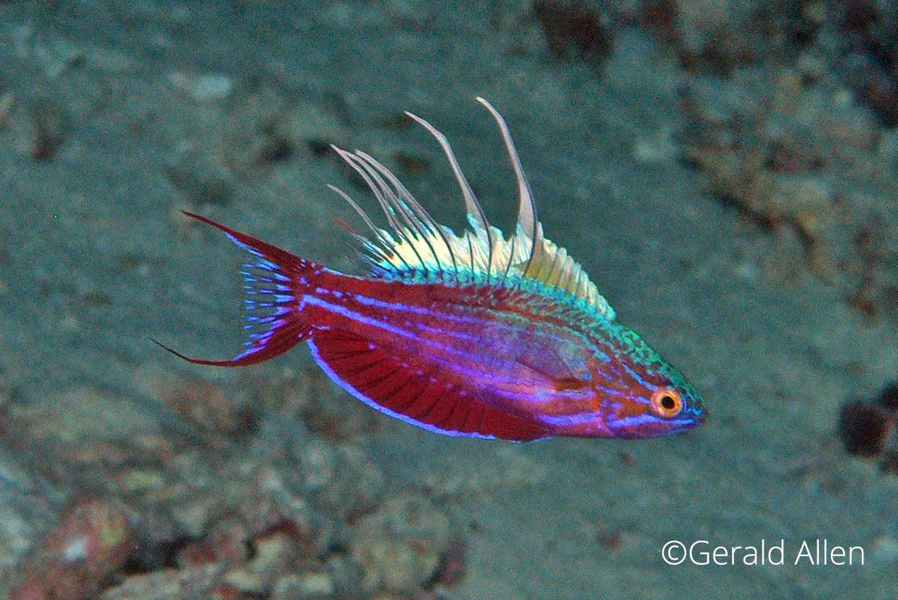 Paracheilinus-cyaneus, Gerald Allen, critters@lembeh, North Sulawesi Indonesia, Lembeh Resort,underwater photography