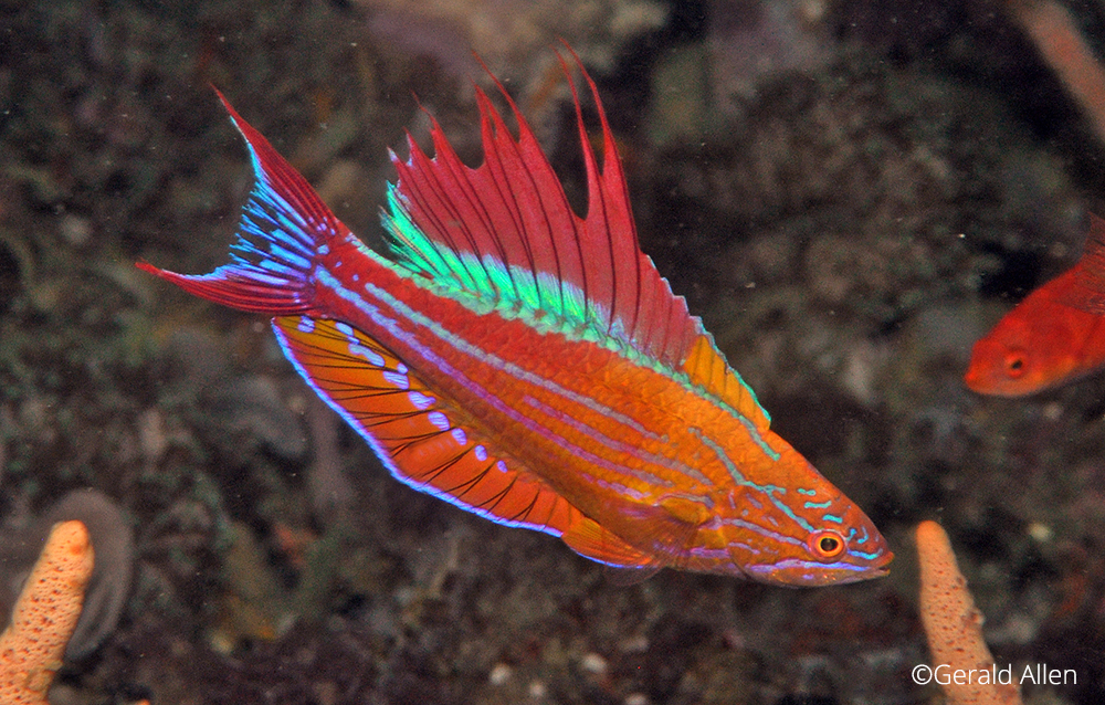 Paracheilinus hybrid filamentosus -x- togeanensis, Gerald Allen, critters@lembeh, North Sulawesi Indonesia, Lembeh Resort,underwater photography