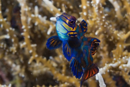 Mandarin fish, photo pro, Peter Lange, Lembeh Strait, North Sulawesi, Indonesia, critter, dive center