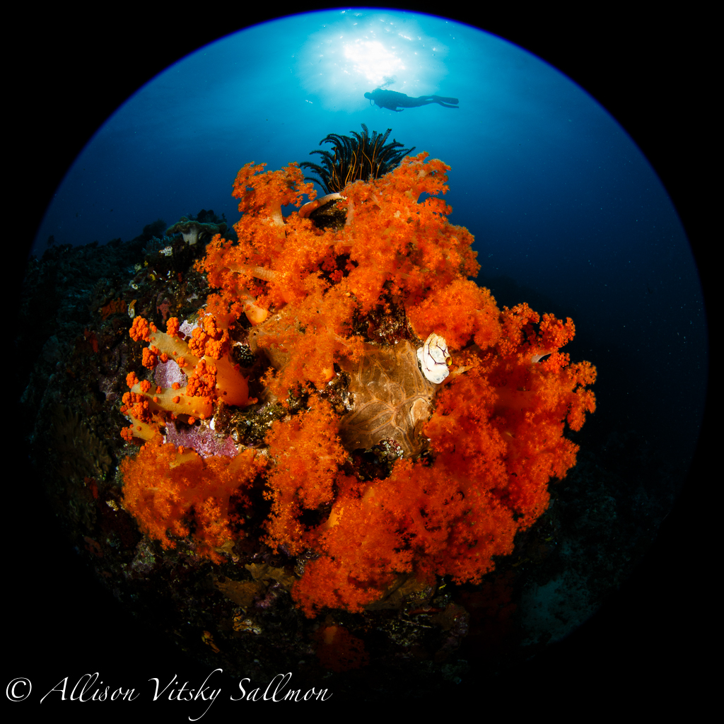 Reef scene, Andy Sallmon, photo pro, Lembeh Strait, North Sulawesi, Indonesia,