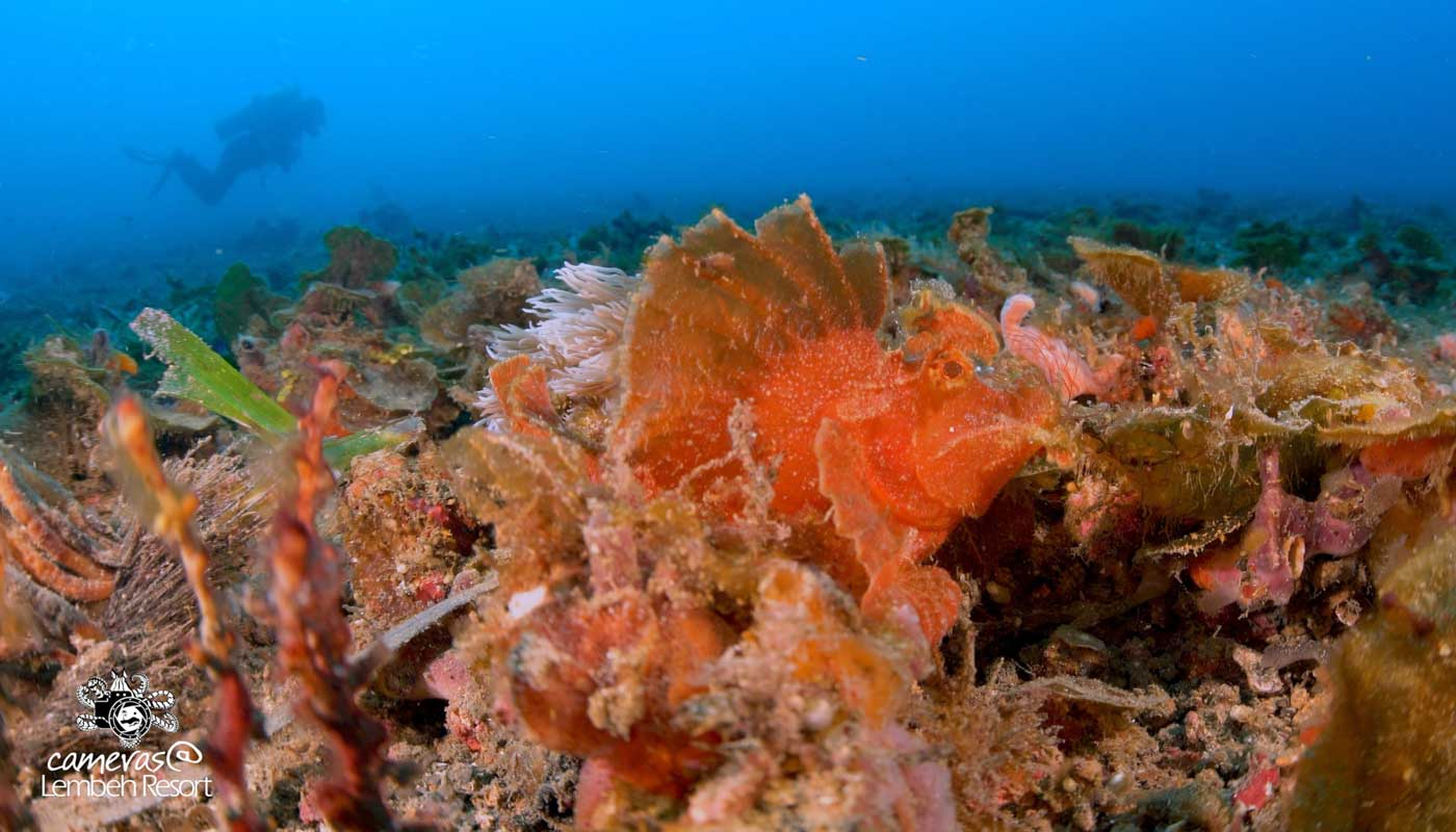 Critters of the Lembeh Strait – The Paddle-flap scorpionfish (Rhinopias eschmeyeri)