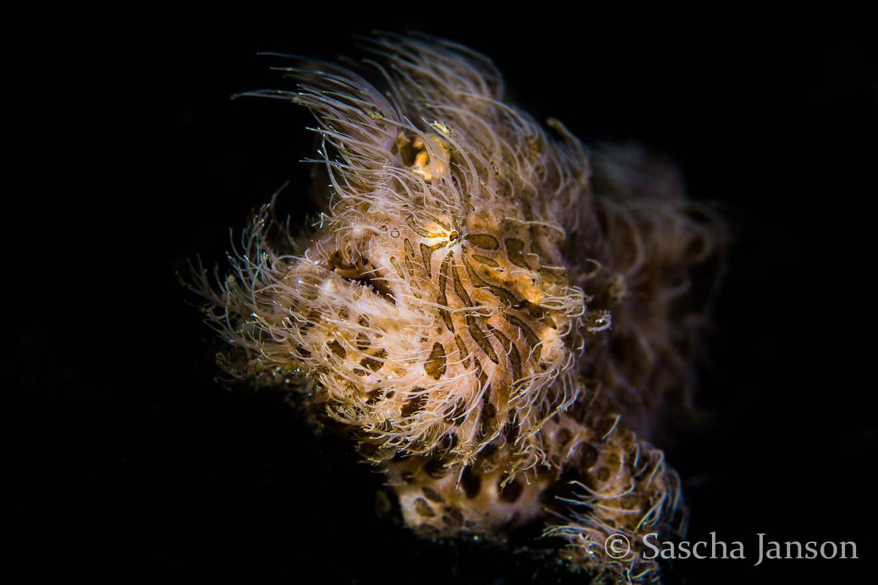 Hairy frogfish, photo pro, Sascha janson, Lembeh Strait, North Sulawesi, Indonesia, critter