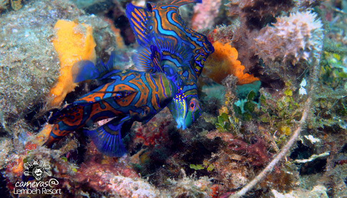 Critters of the Lembeh Strait | SEA WARS – Fighting Mandarin Fish