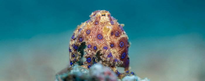 Blue Ringed Octopus, Hapalochlaena sp, Sascha Janson, Critters@Lembeh Lembeh Resort, Lembeh Strait Indonesia 2016