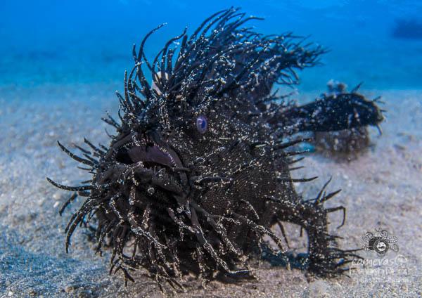 Black Hairy Frogfish (Antennarius striatus) Lembeh Strait