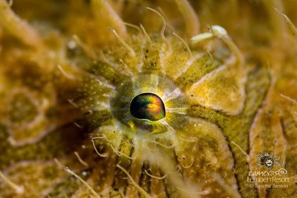 SaschaJanson_CLR_Frogfish_hairy_eye