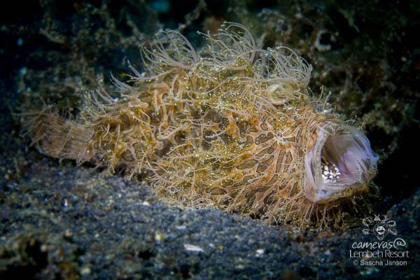 SaschaJanson_CLR_Frogfish_hairy_yawn