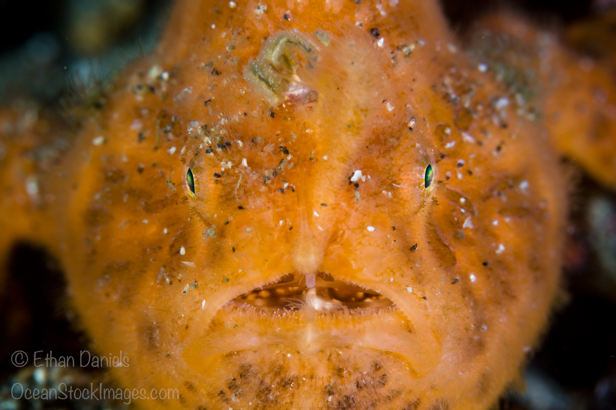 The face of a Striated frogfish, Antennarius striatus, is camouflaged well amongst the rubble of Lembeh Strait, North Sulawesi, Indonesia, Pacific Ocean.