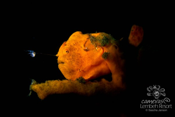 Painted Frgogfish (antennarius pictus) with Glossodoris averni i