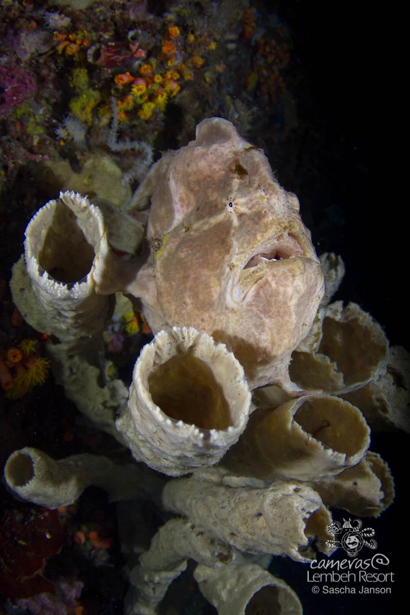 SschaJanson_CLR_Frogfish_giant_10mm