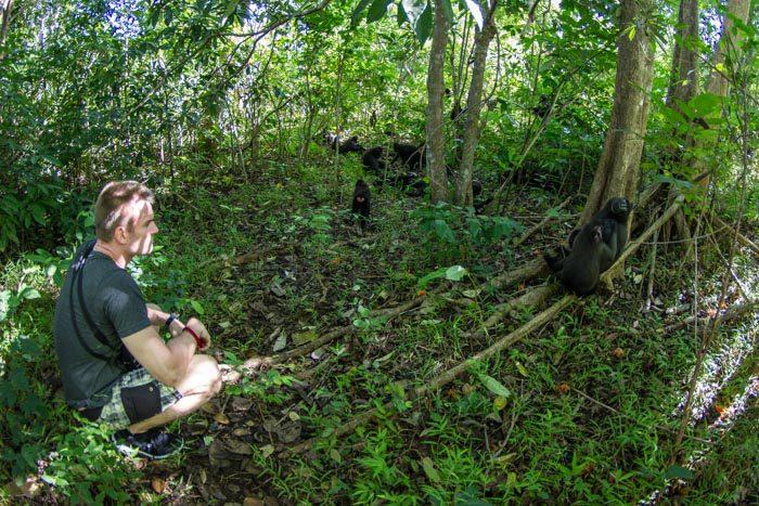 Celebes black macaque