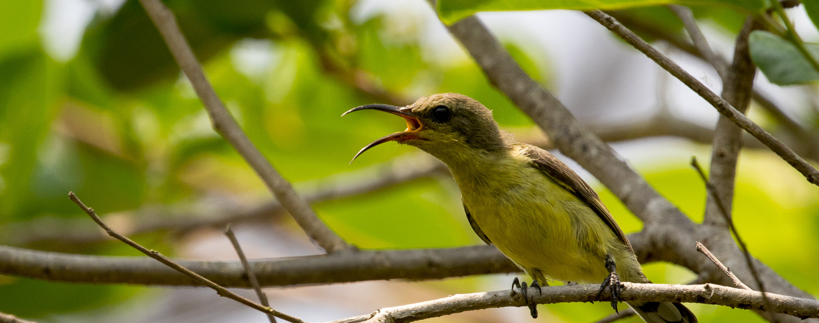 Olive Backed Sunbird in Tangkoko National Park