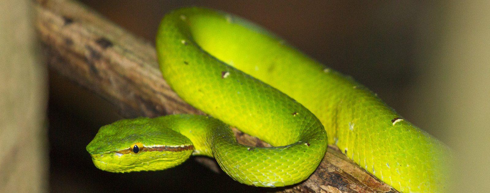 Snake in Tangkoko