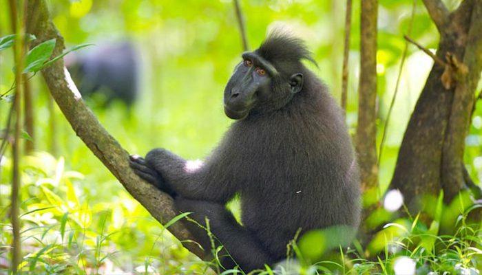 Black Macaque Tangkoko