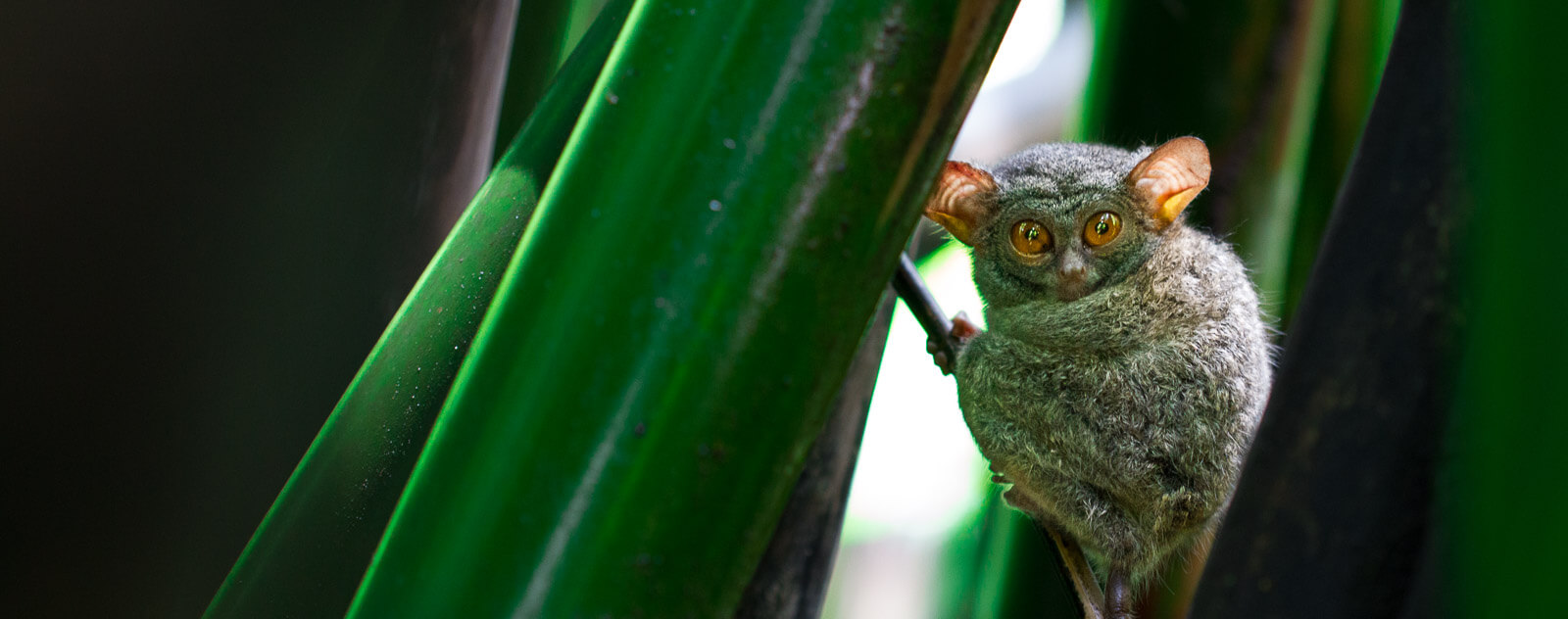 Tarsier at Lembeh Resort