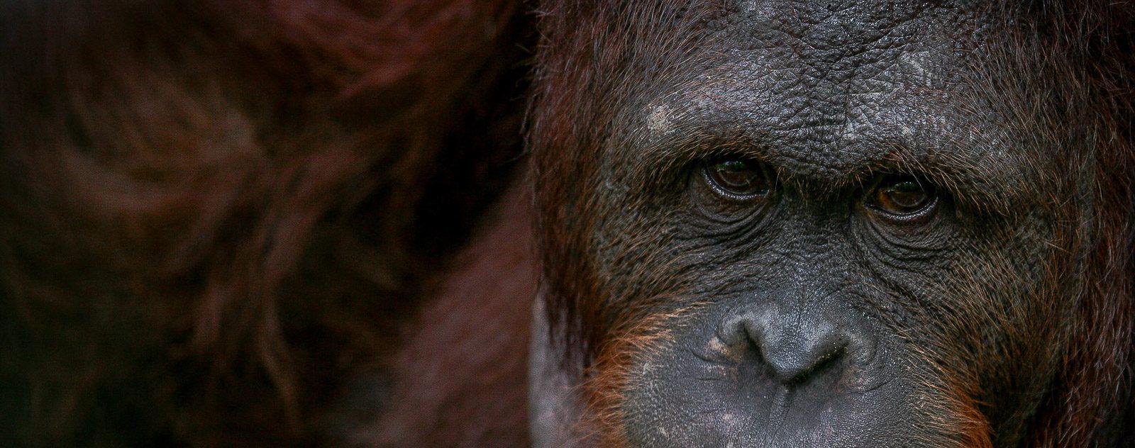 Orangutan at wildlife rescue centre in Sulawesi
