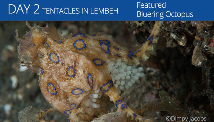 Lembeh Resort - Tentacle Festival - Bluering Octopus