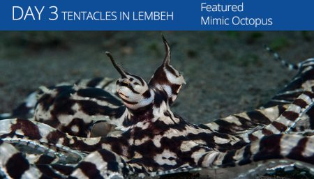 Lembeh Resort - Tentacle Festival - Mimic Octopus