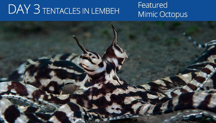 Lembeh Resort - Tentacle Festival - Mimic Octopus