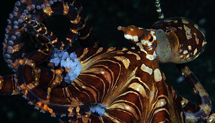 Wunderpus octopus, William tan, Lembeh Strait Indonesia 2017