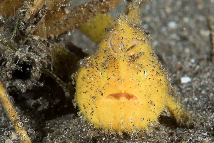 Yellow hairy frogfish