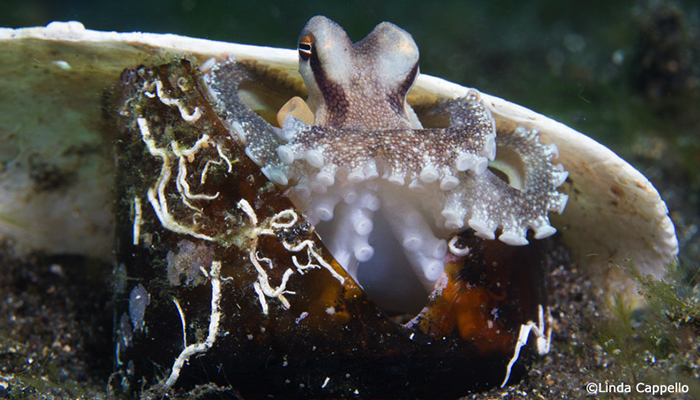 Coconut Octopus Lembeh