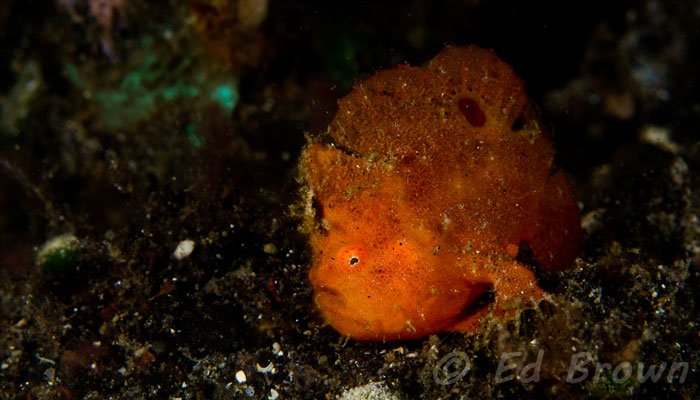 Returning to Lembeh After Many Years