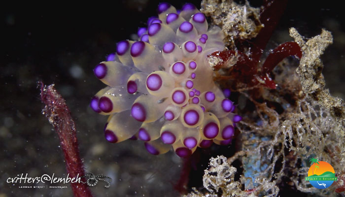 Muck Diving in Lembeh Strait – Critters of the Week 18