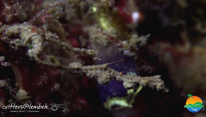 Muck Diving in Lembeh Strait – Critters of the Weeks 24 – 26